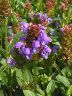 Prunella Grandiflora Freelander Blue