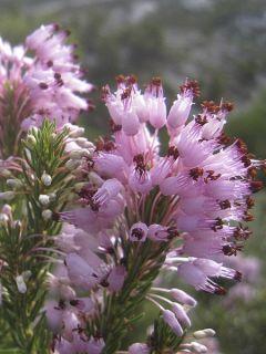 Erica mediterranea - Bruyère de l'ouest