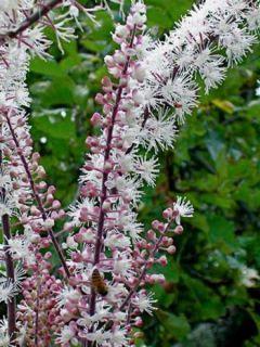 Cimicifuga Carbonella - Actaea simplex