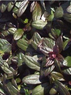 Ajuga tenorii Chocolate Chip (Valfredda) - Bugle rampant
