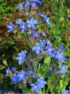 Anchusa azurea Dropmore - Buglosse d'Italie