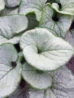 Brunnera macrophylla Silver Heart® - Myosotis du Caucase