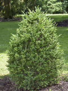Buis commun 'Arborescens'