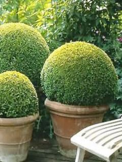 Buis double en boule de 20cm, Buxus sempervirens