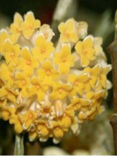 Buisson à papier 'Grandiflora'