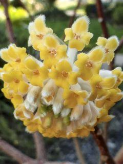 Edgeworthia chrysantha Nanjing Gold - Buisson à papier