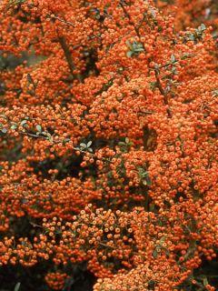 Pyracantha SAPHYR Orange - Buisson ardent.