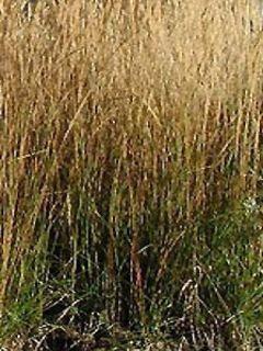 Calamagrostis acutiflora Waldenbuch - Calamagrostide