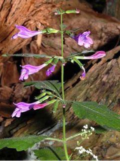 Calamintha grandiflora - Calament