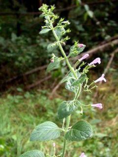 Calamintha sylvatica Menthe - Sariette des bois