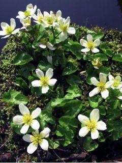 Caltha palustris var.alba - Populage blanc - Souci des marais blanc