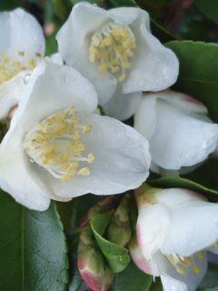 Camelia lutchuensis - Camellia botanique