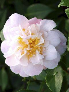 Camélia champêtre - Camellia High Fragrance