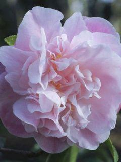 Camélia champêtre 'Sweet Emily Kate'
