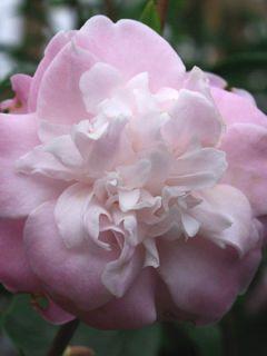 Camélia champêtre 'Sweet Jane'