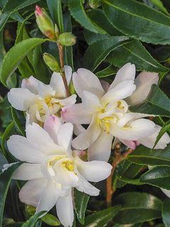 Camelia d'automne - Camellia sasanqua Frosted Star