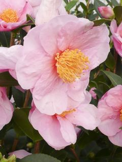 Camélia d'automne 'Pink Goddess'