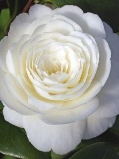 Camélia classique - Camellia Dahlonega