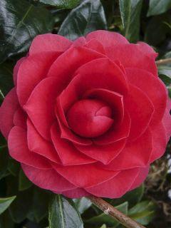 Camélia Coquetti - Camellia japonica