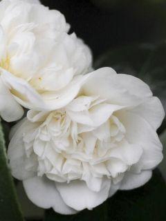 Camélia du Japon 'Nobilissima '
