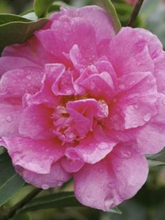 Camelia Fiesta Grande - Camellia (x) reticulata