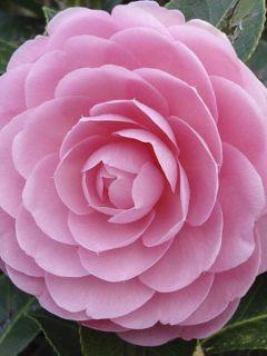 Camélia EG Waterhouse - Camellia (x) williamsii