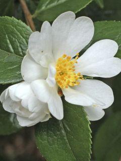 Camélia grijsii - Camellia