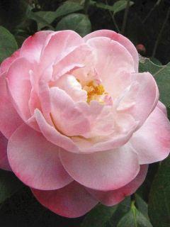 Camélia classique - Camellia Spring Daze