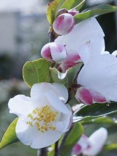 Camellia transnokoensis - Camélia botanique