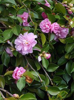 Camélia-d-automne-'Waterfall-pink'