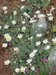 Anthemis carpatica Karpatenschnee - Camomille des monts Carpates Karpatenschnee