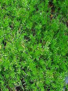 Camomille Romaine, Anthémis nobilis Treneague