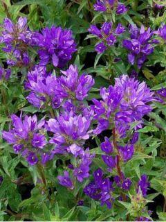Campanula glomerata Acaulis - Campanule à bouquets