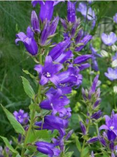 Campanule latifolia var. macrantha