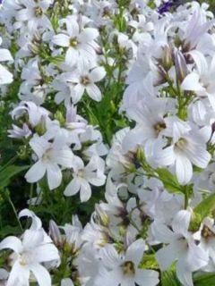 Campanule à fleurs laiteuses 'Alba'