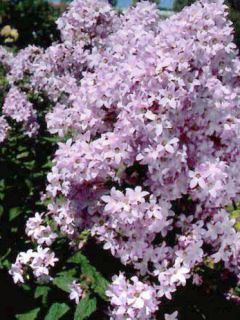 Campanule lactiflora Loddon Anna