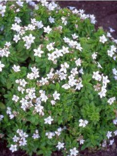 Campanula lactiflora White Pouffe - Campanule laiteuse blanche.