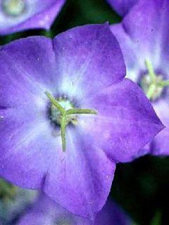 Campanula carpatica bleue - Campanule des Carpathes à fleurs bleues.
