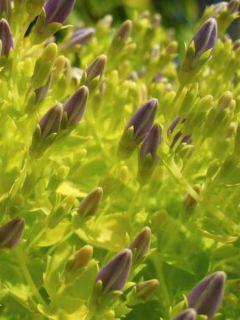 Campanula garganica Dickson s Gold - Campanule étoilée