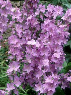 Campanula persicifolia Hidcote Amethyst - Campanule à feuilles de pêcher rose lilacé