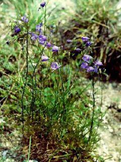 Campanula rotundifolia - Campanule à feuilles rondes