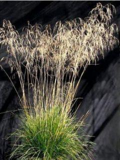 Deschampsia caespitosa Bronzeschleier - Canche cespiteuse