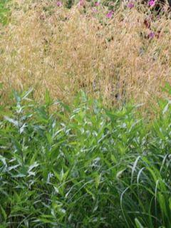 Deschampsia cespitosa Goldschleier - Canche cespiteuse