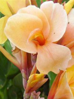 Canna Louis Cottin - Balisier nain jaune abricot, feuillage pourpre