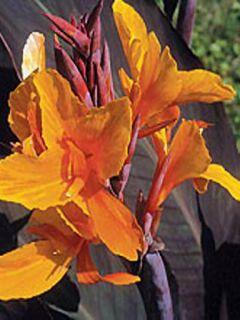 Canna Semaphore - Balisier orange abricot