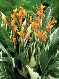 Canna Stuttgart - Balisier panaché à fleurs orange saumoné