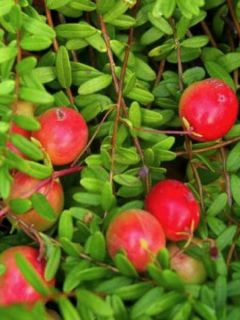 Canneberge Early Black - Vaccinium macrocarpon - Cranberry