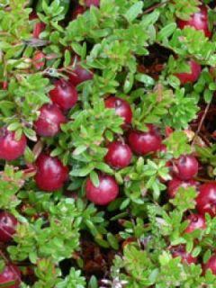 Canneberge, Airelle à gros fruits 'Stevens'