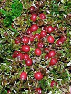Canneberge - Cranberry - Vaccinium macrocarpon