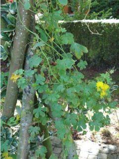 Graines de Capucine des Canaris - Tropaeolum peregrinum